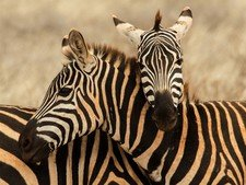 Amakhala Game Reserve Hlosi Game Lodge Zebra Regul