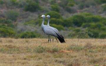 Hlosi Game Lodge Birds Of Amakhala Blue Crane