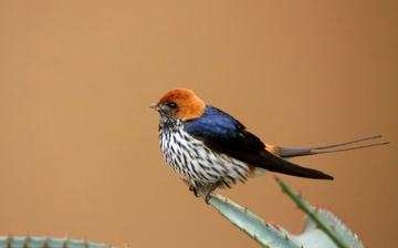 Hlosi Game Lodge Birds Of Amakhala Lesser Striped Swallow