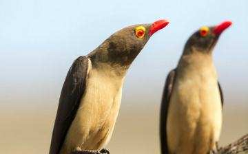 Hlosi Game Lodge Birds Of Amakhala Red Billed Oxpeckers