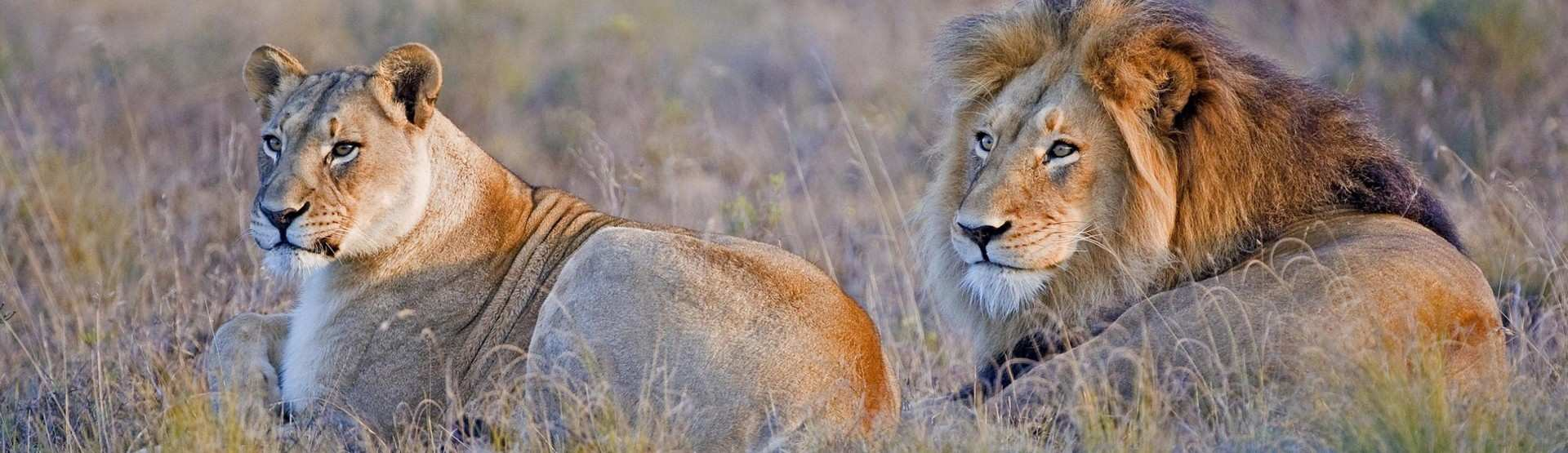 Lion Roars Hlosi Game Lodge Eastern Cape Game Drives Lions